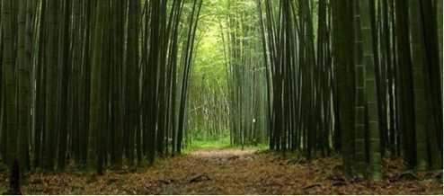 Bambu quando la materia prima puoi crearla tu for Bamboo coltivazione